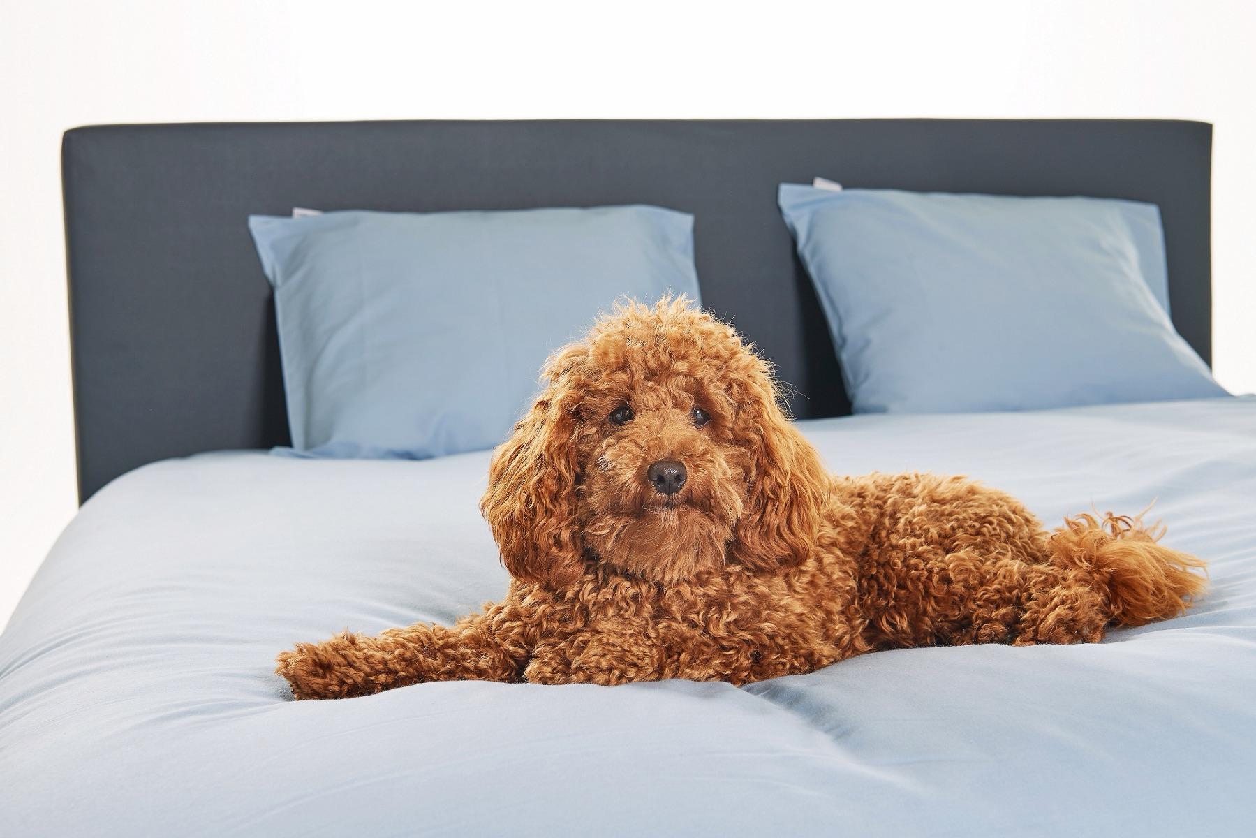 Je hond in bed of op je slaapkamer. Ja of nee?   Swiss Sense